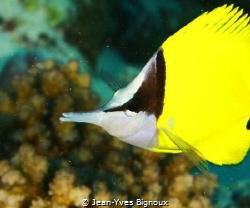 Angel fish Mauritius.Grand Bay Mauritius 12 metres  Jean... by Jean-Yves Bignoux