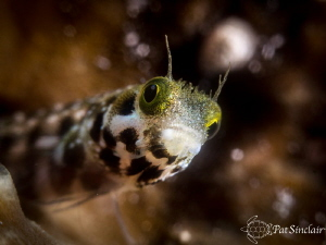 Curiosity Spinyhead blenny was almost as curious about m... by Patricia Sinclair