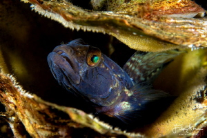 Black goby with eggs, Zeeland, The Netherlands. by Filip Staes