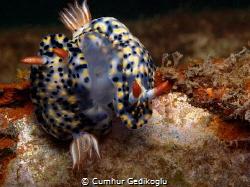 Hypselodoris infucata MATING by Cumhur Gedikoglu
