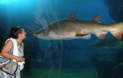 Siam Ocean World, encounter with a tooth-ragged shark by Gordana Zdjelar