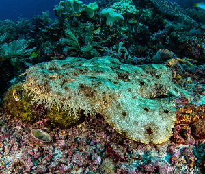 Close up to a Wobbegong Shark by Norm Vexler