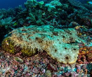 Close up to a Wobbegong Shark by Norm Vexler