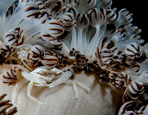 Porcelain Crab in Raja Ampat by Norm Vexler
