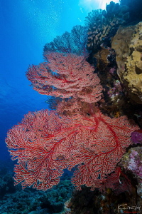 Sea fan by Kelvin H.y. Tan