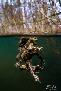 """""""The battle"""", mating toads, Turnhout, Belgium. by Filip Staes"""