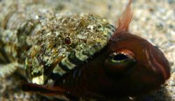 This Clearfinned Lizardfish earned his meal. Taken in 4' ... by Mathew Cook