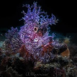 Weedy Scorpion Fish (Rhinopias frondosa) Anilao, Philip... by Aleksandr Marinicev