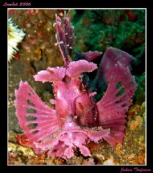 Weedy Scorpion Fish at Lembeh, one of many strange animal. by Johan Torfason