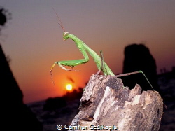 Mantidae Topside lucky sunset photo from my diving cente... by Cumhur Gedikoglu