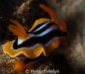 Chromodoris quadricolor by Pieter Firlefyn