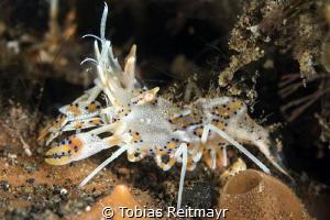 Tiger shrimp in Melasti, Amed, Bali by Tobias Reitmayr