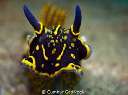 Hypselodoris elegans