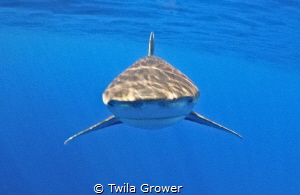 Up close and personal Longimanus by Twila Grower