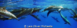 school of spinner dolphins