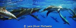 school of spinner dolphins Gota Sataya / Fury Shoals / E... by Lars Oliver Michaelis