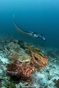 Reef Manta, Mawan, Komodo by Tobias Reitmayr