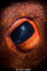 octopus eye by Taner Atilgan