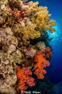 Soft corals of Red Sea by Taner Atilgan