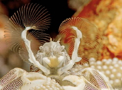 The sweeper. Porcelain Crab. Batu Belah  Bali. by John Roach