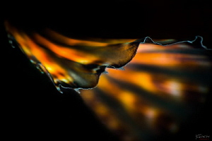 Wings (Lionfish abstract) by Kelvin H.y. Tan
