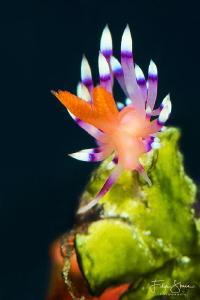 Flabellina exoptata, Raja Ampat. by Filip Staes