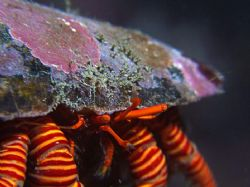 Stripey socks hermit crab with a bit of a depth of field ... by Alex Tattersall