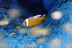 First time to see the BLUE anemone. by Chen Ji