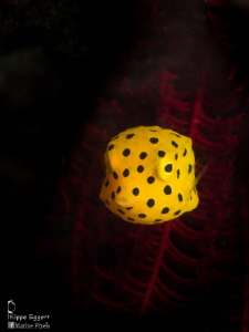 Juvenile Boxfish by Philippe Eggert