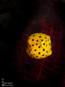 Juvenile Boxfish by Philippe Eggert