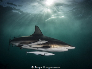 Aliwal Aura blacktip shark glides through light rays piercing emeraldgreen waters Shoal South Africa emerald-green emerald green