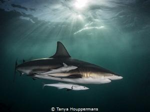 'Aliwal Aura' - A blacktip shark glides through the light... by Tanya Houppermans