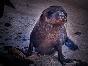 Small Seal by Marc Van Den Broeck