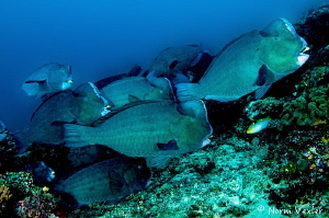 """Bad boys"" of the reef in Raja Ampat by Norm Vexler"