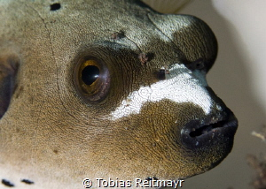 Dog pufferfish, Seraya, Bali by Tobias Reitmayr