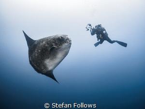 pos·er  Southern Ocean Sunfish - Mola ramsayi  Gilli ... by Stefan Follows
