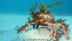 Decorated Spider Crab at Wild Derrynane by Vincent Hyland