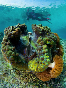 Giant clam, Raja Ampat. by Filip Staes