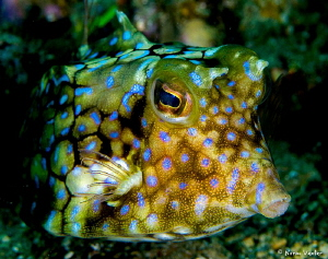 Close up to a Cowfish by Norm Vexler