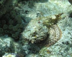 Spotted scorpionfish. Shot in shallow water. Only a sligh... by Don Bruschera