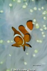 white anemon with a baby anemonfish by Deniz Muzaffer Gökmen