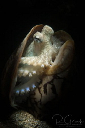 Coconut Octopus in the shell-Anilao, Phillippines. by Richard Goluch
