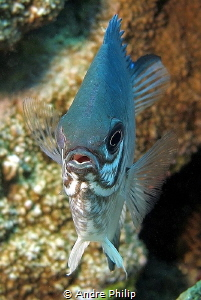 Portrait of a Pale Damselfish (Amblyglyphidodon indicus) by Andre Philip