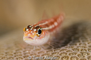 Goby on coral by Taner Atilgan