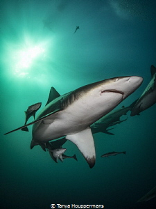 Portrait Oceanic Blacktip Taken Aliwal Shoals South Africa