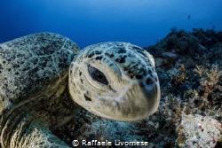 turtle portrait by Raffaele Livornese