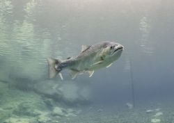 Rainbow trout. Capernwray. D200, 16mm. by Mark Thomas