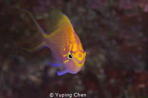 Hawk Anthias/Ishigaki, Okinawa,Japan, Canon 5D MarkIII, 1... by Yuping Chen