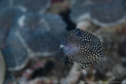 B O X F I S H