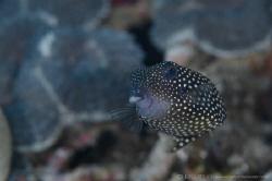 B O X F I S H Boxfish black female (Ostracion meleagris)... by Irwin Ang